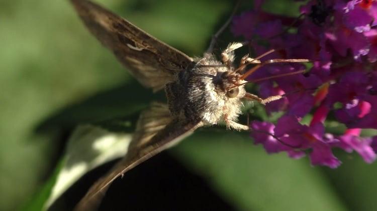 gamma uil op buddleia vlinderstruik