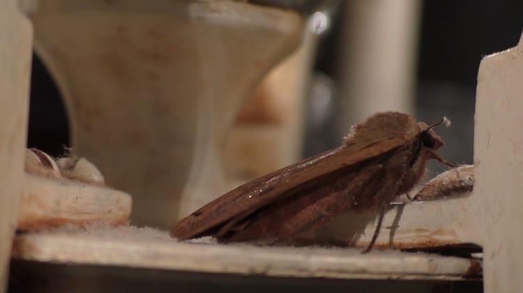 huismoeder bruine nachtvlinder