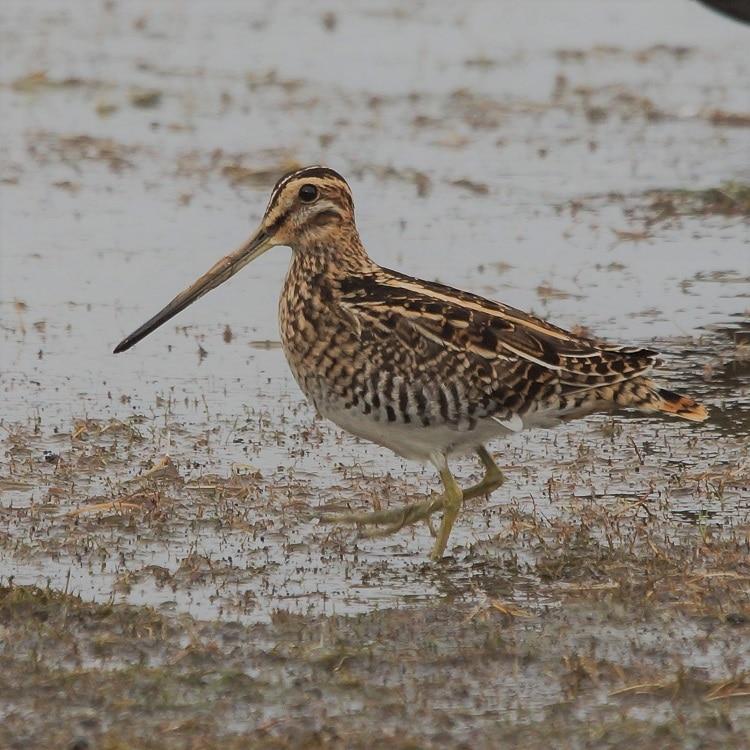 watersnip vogels kijken in de biesbosch sjaak huijer