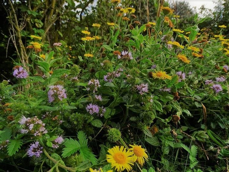 bloeiende planten westplaat maasvlakte