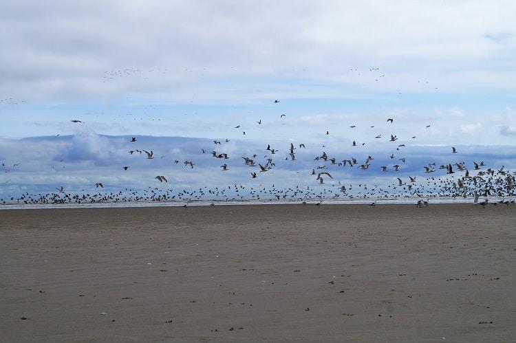 vogels kijken op terschelling meeuwen op het strand