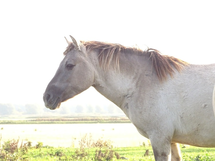 konikpaarden noordwaard biesbosch